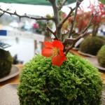 長寿梅の花が咲きました(^-^)
